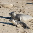Elephant Seal Colony – San Simeon, CA We visited a colony of elephant seals 5 miles north of Hearst Castle right off the 101 Freeway and was supposedly the largest...