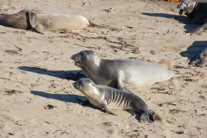 Elephant Seals San Simeon Central California