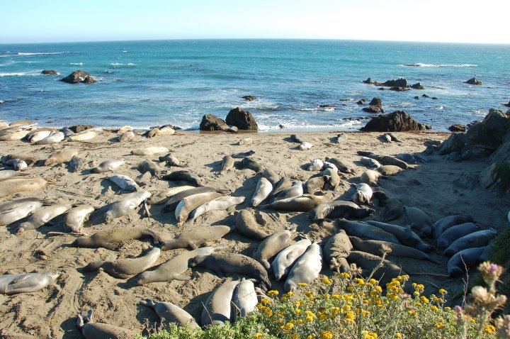 Central California Elephant Seals