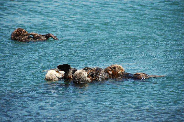 Morro Bay sea otters