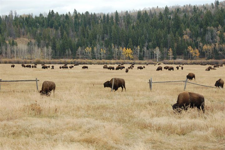Bison herd at Grand Teton