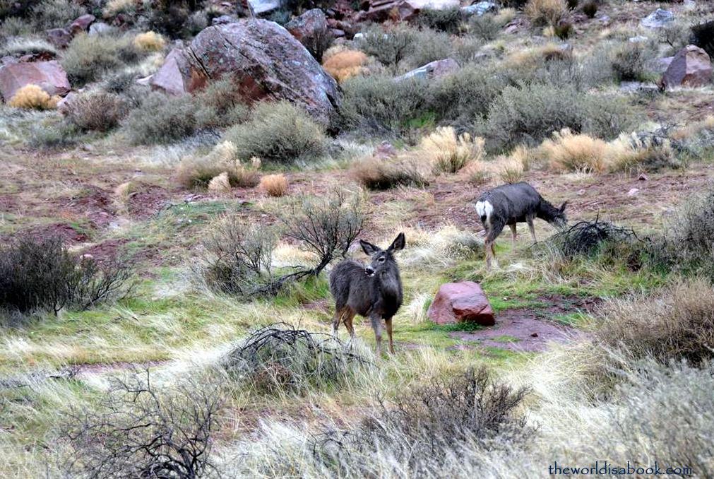 Zion Mule deer