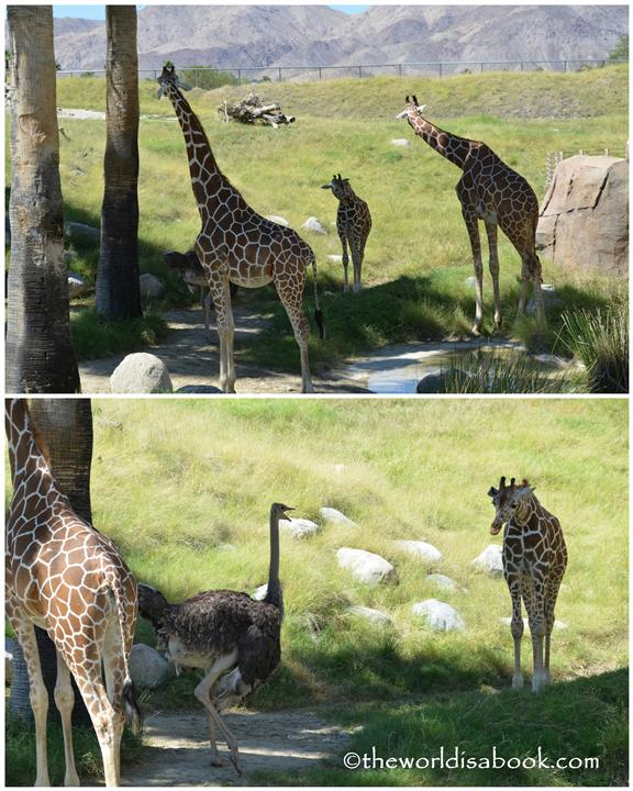 Living Desert Giraffe and ostrich