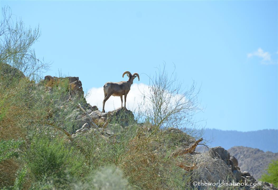 the Living desert sheep