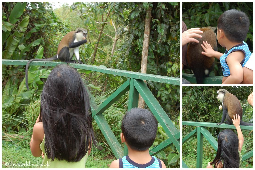 Grenada monkey petting