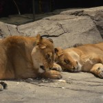 Petting a cub at MGM Lion Habitat