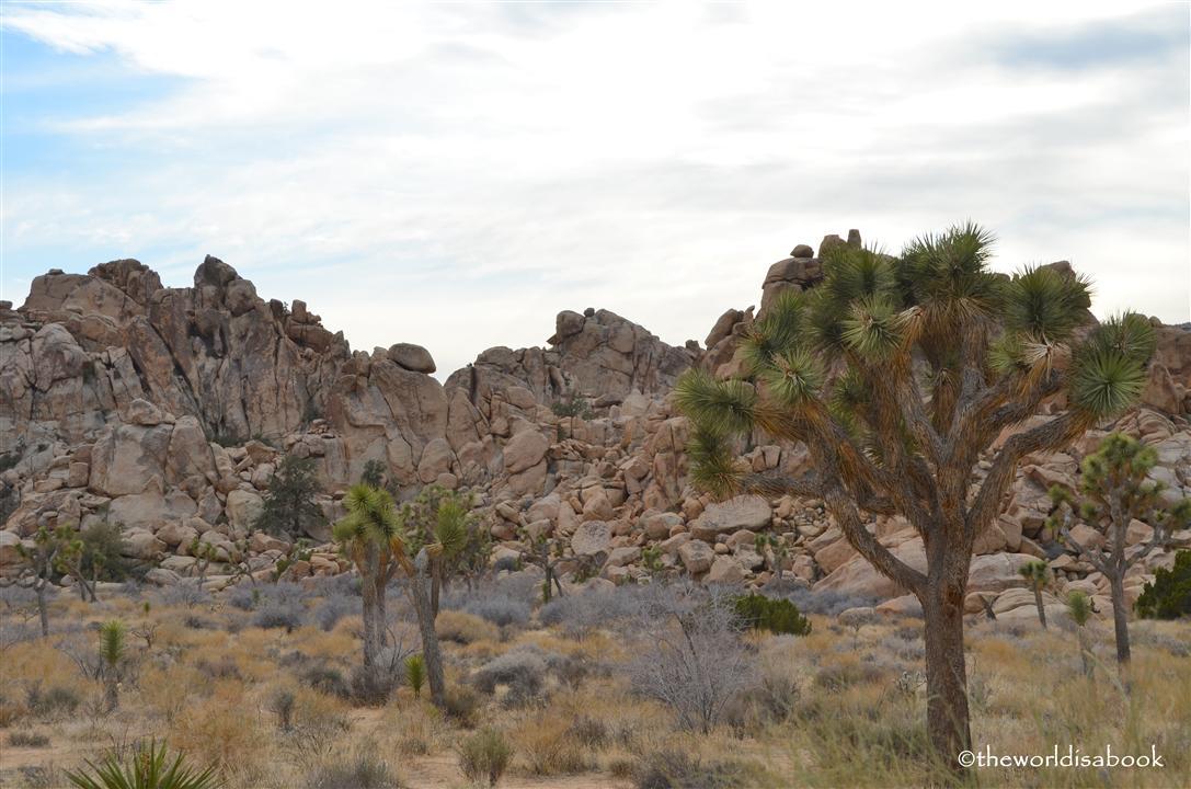Joshua tree rock pile and grove