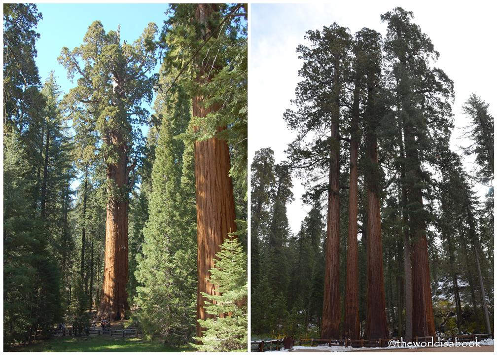 General Sherman tree and Sequoia grove