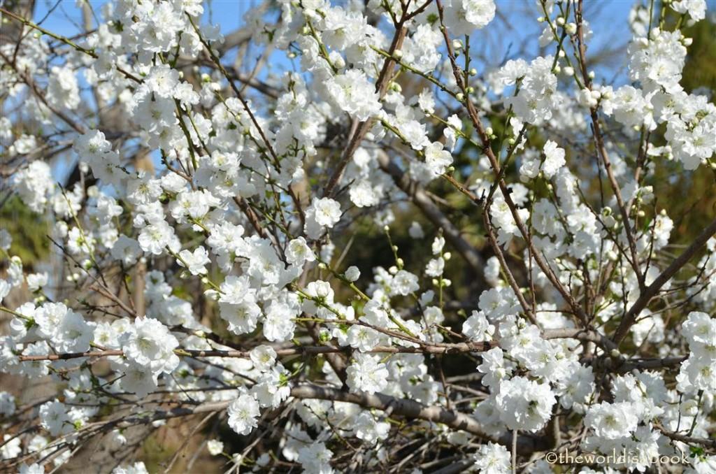 arboretum flowering peach