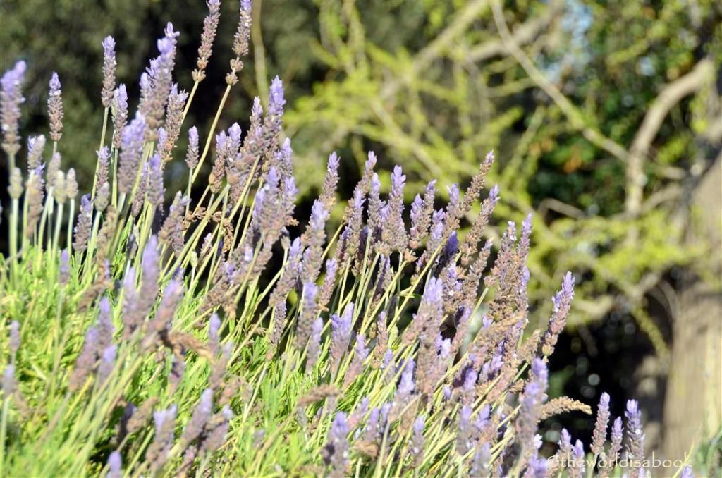 arboretum lavender image