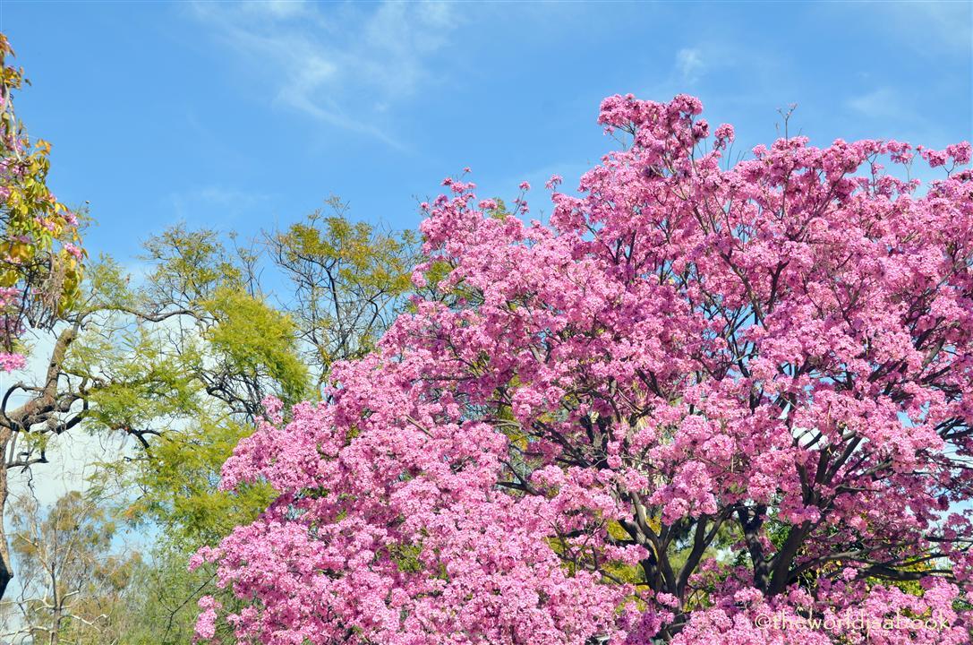 Pink trumpet tree arboretum image