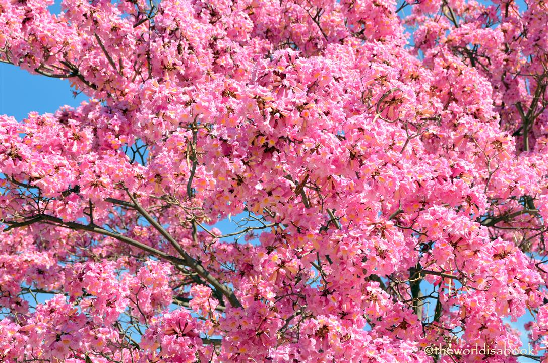 arboretum pink trumpet tree