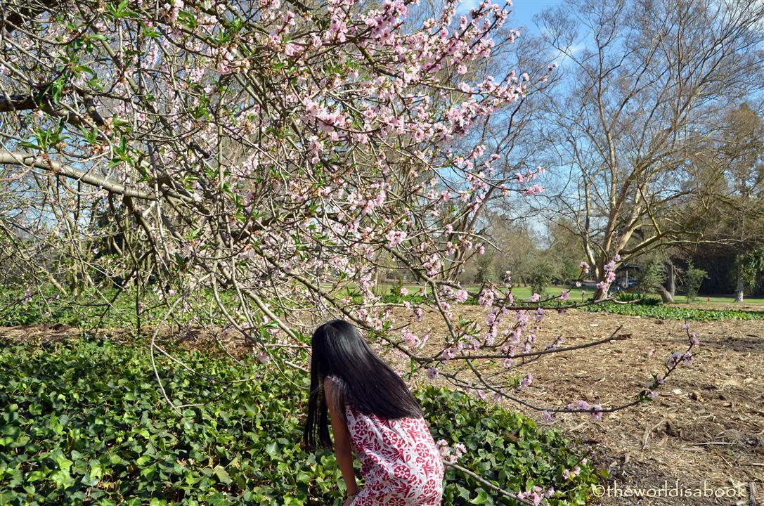 flowering nectarine arboretum image