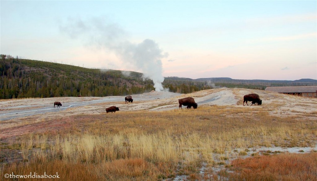 yellowstone national park old faithful buffalo image
