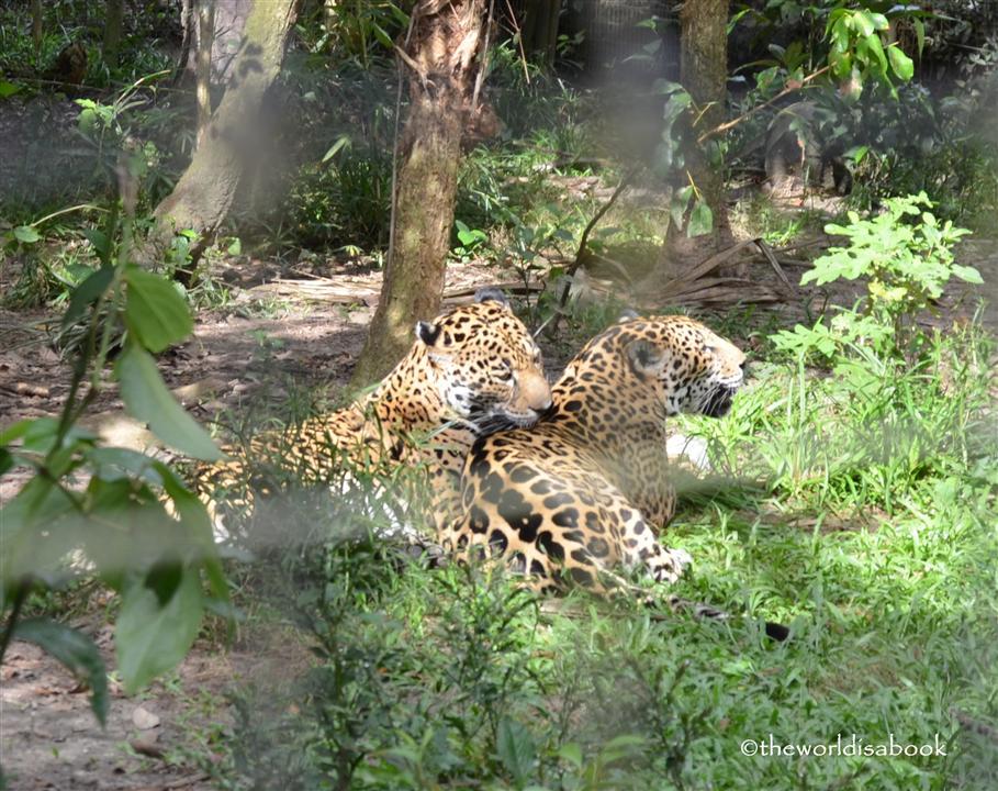 Belize zoo jaguars