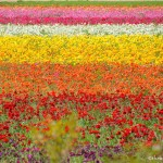 Colors of the Carlsbad Flower Fields