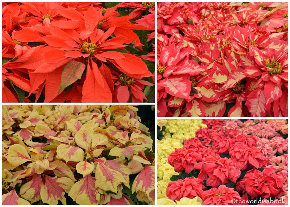 Carlsbad flower fields ecke poinsettias