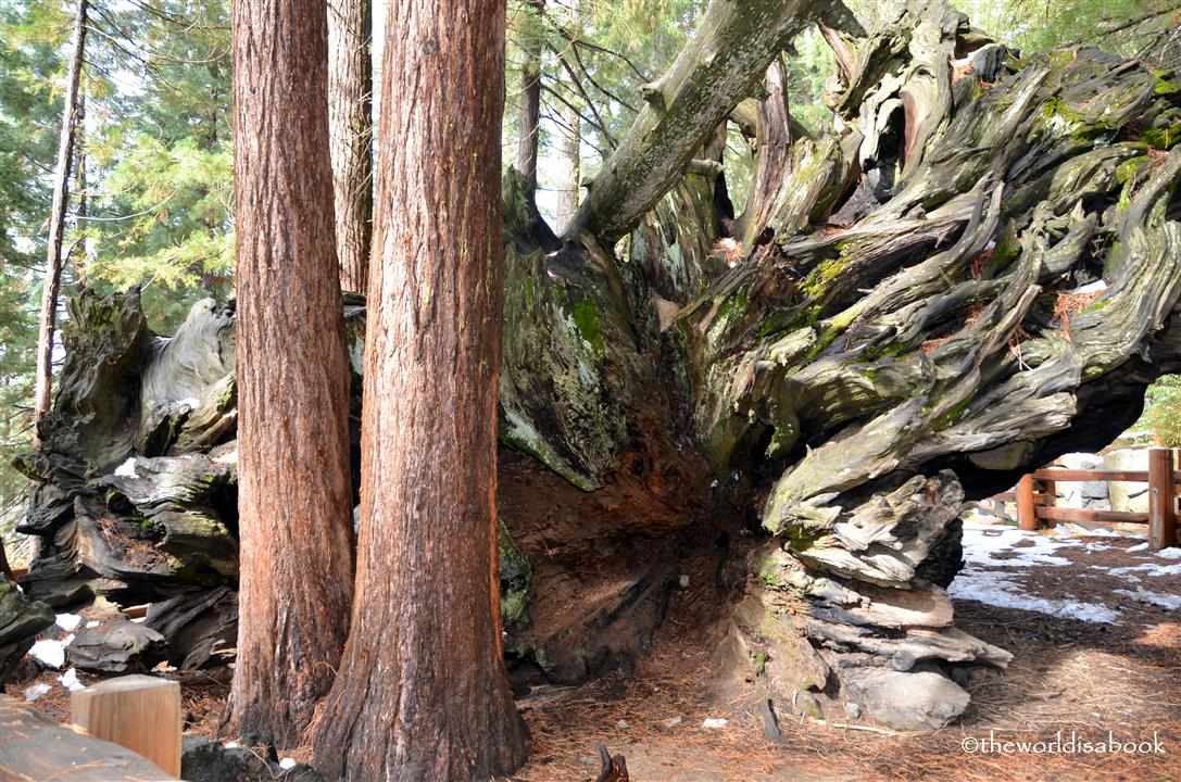Sequoia root system image