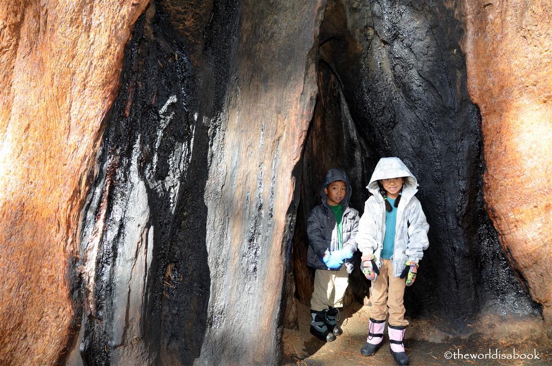 Sequoia tree sap