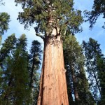 Walking through the Land of the Giant Sequoia Trees