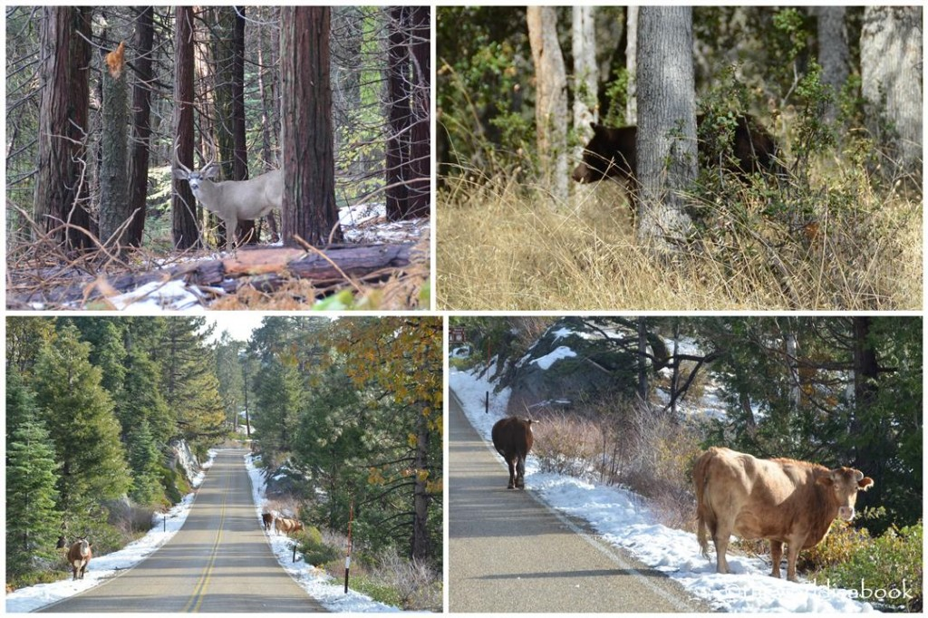 Sequoia National Park wildlife