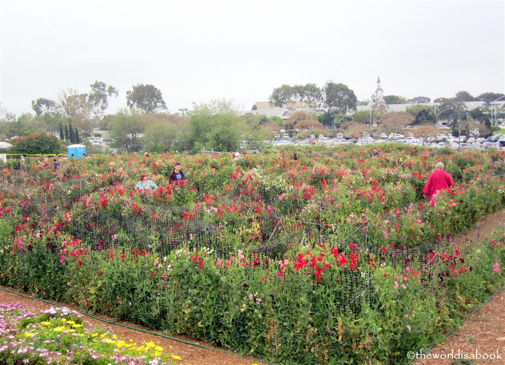 Carlsbad flower fields sweet pea maze
