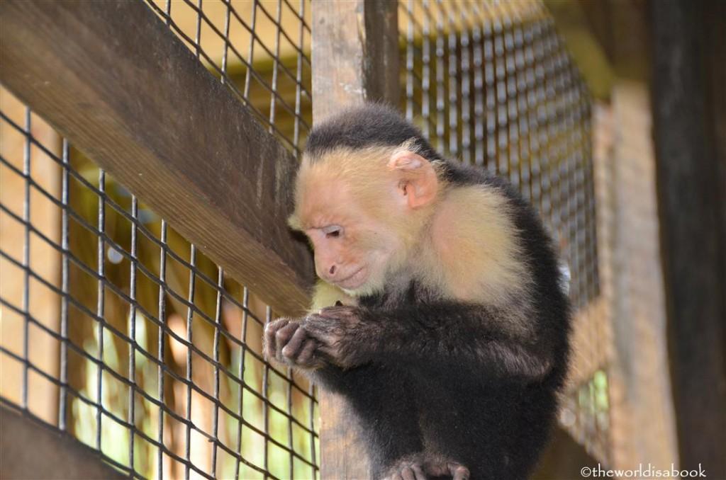 roatan honduras victor bodden monkey business image