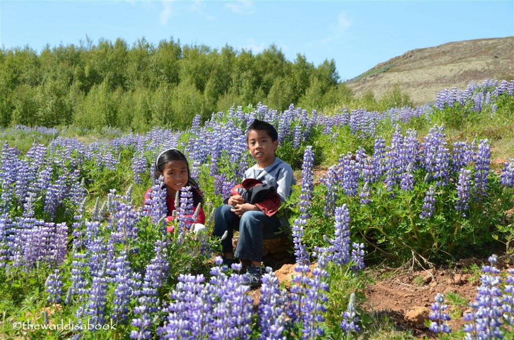 Iceland golden Circle purple nootka or Alaska lupine