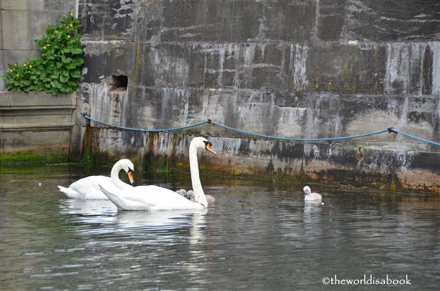 Copenhagen canal swans