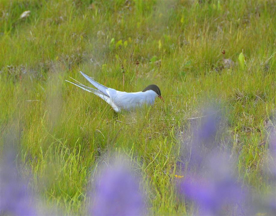 Iceland arctic tern