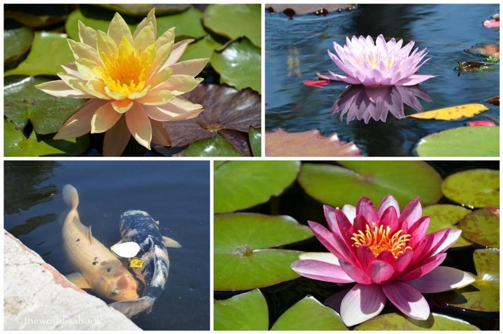 Mission San Juan Capistrano water lilies