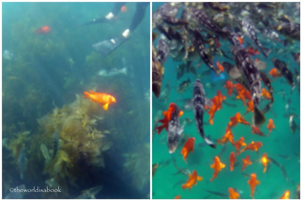 Catalina island snorkel Lover's Cove Marine Preserve