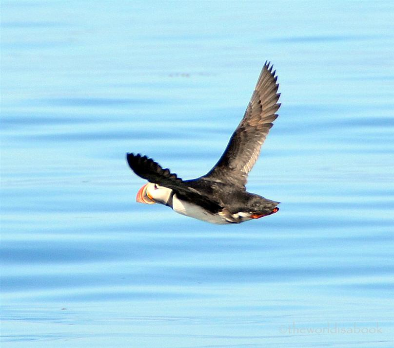 Iceland puffin flying