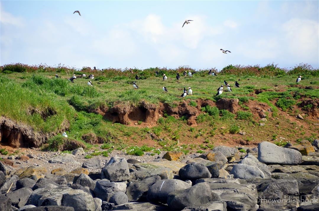 Iceland puffin tour akurey island