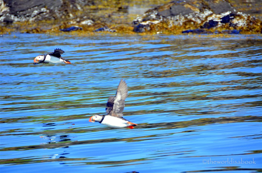 Iceland puffins flying