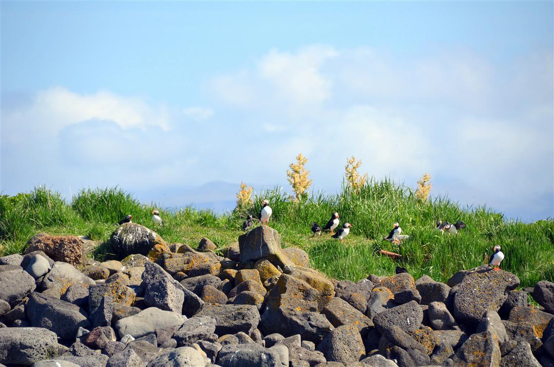 Iceland puffins on akurey island