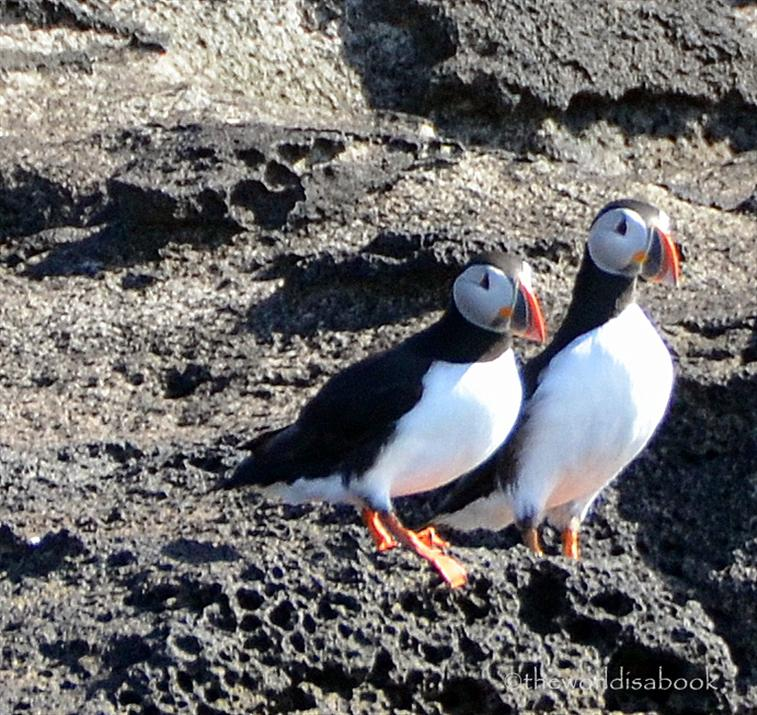 Iceland puffins on rock