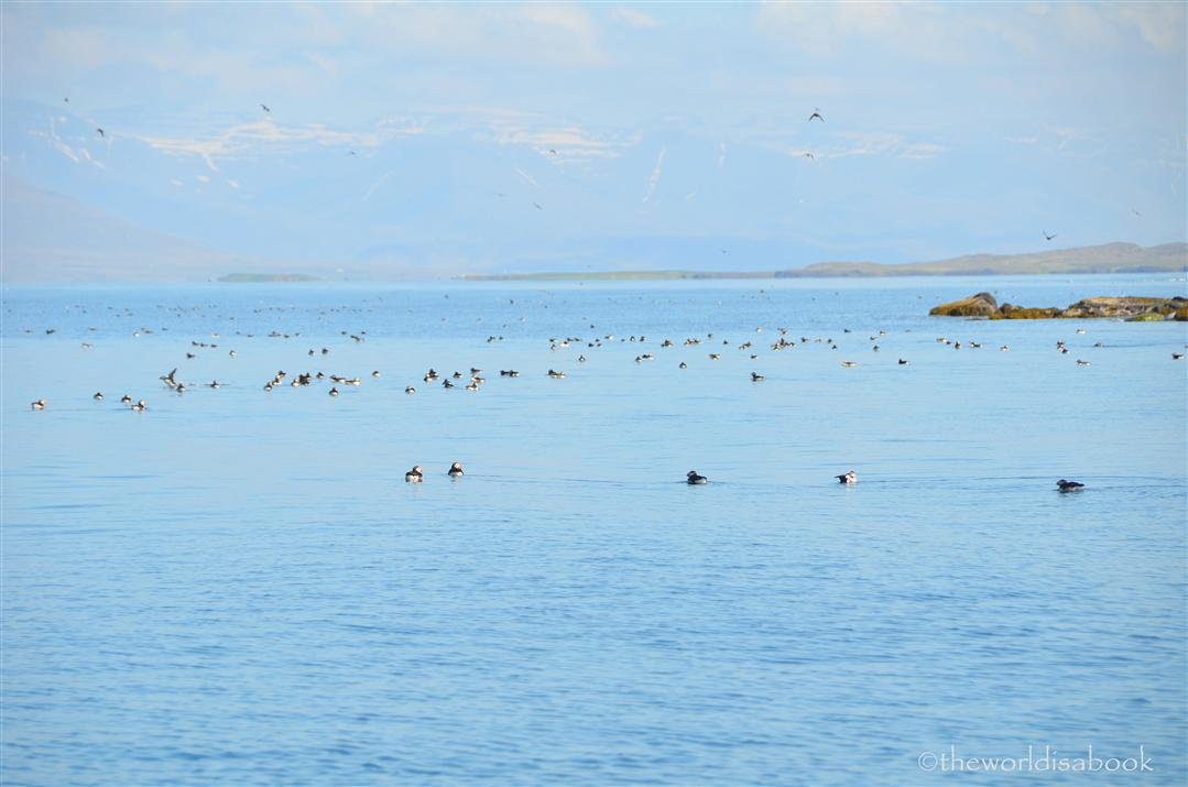 iceland puffins swimming