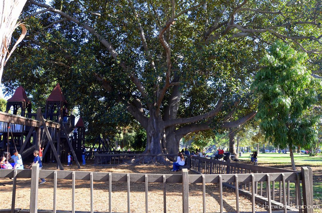 Santa Barbara Moreton Bay Fig Tree