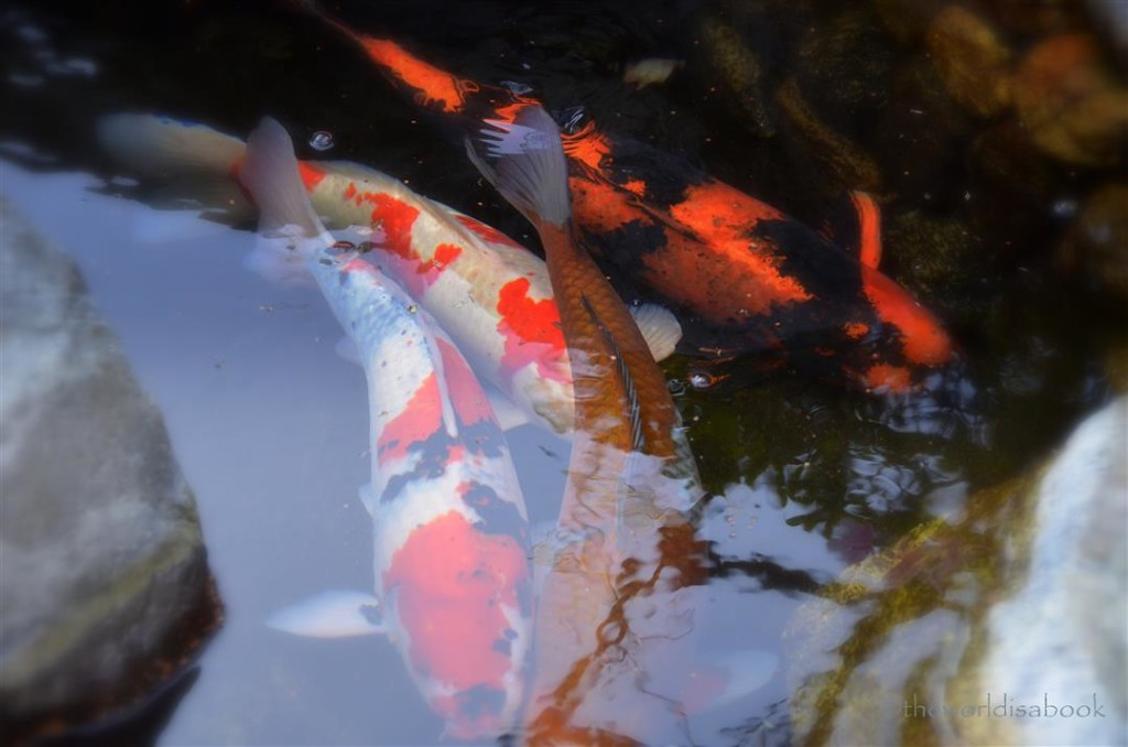 Japanese friendship garden koi