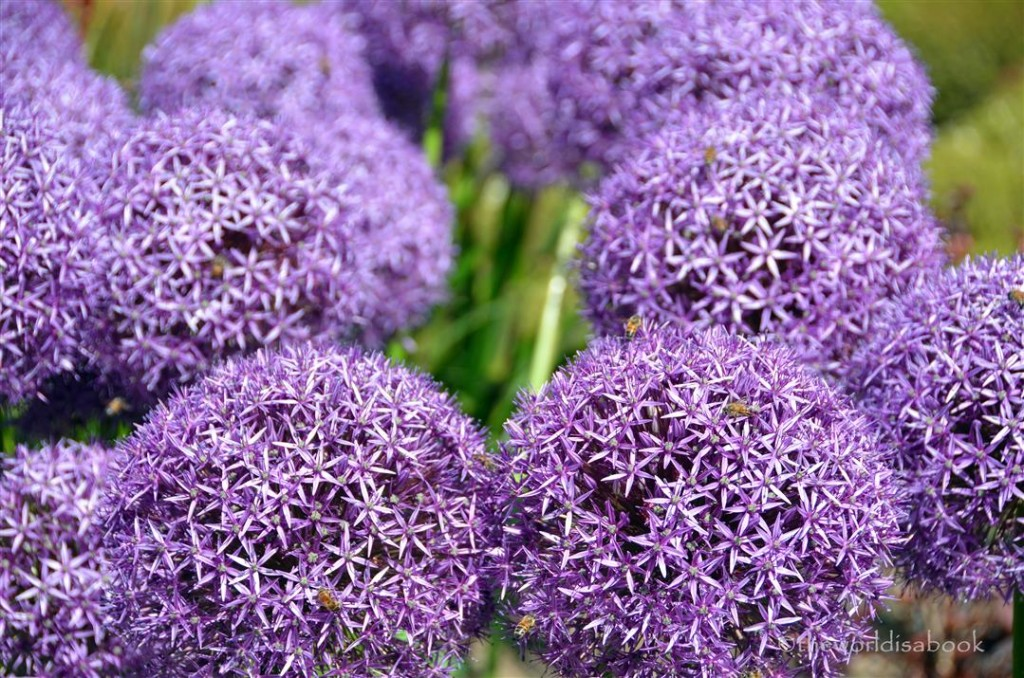Getty Musuem purple allium