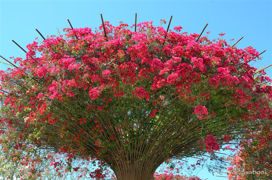 Getty bougainvilla