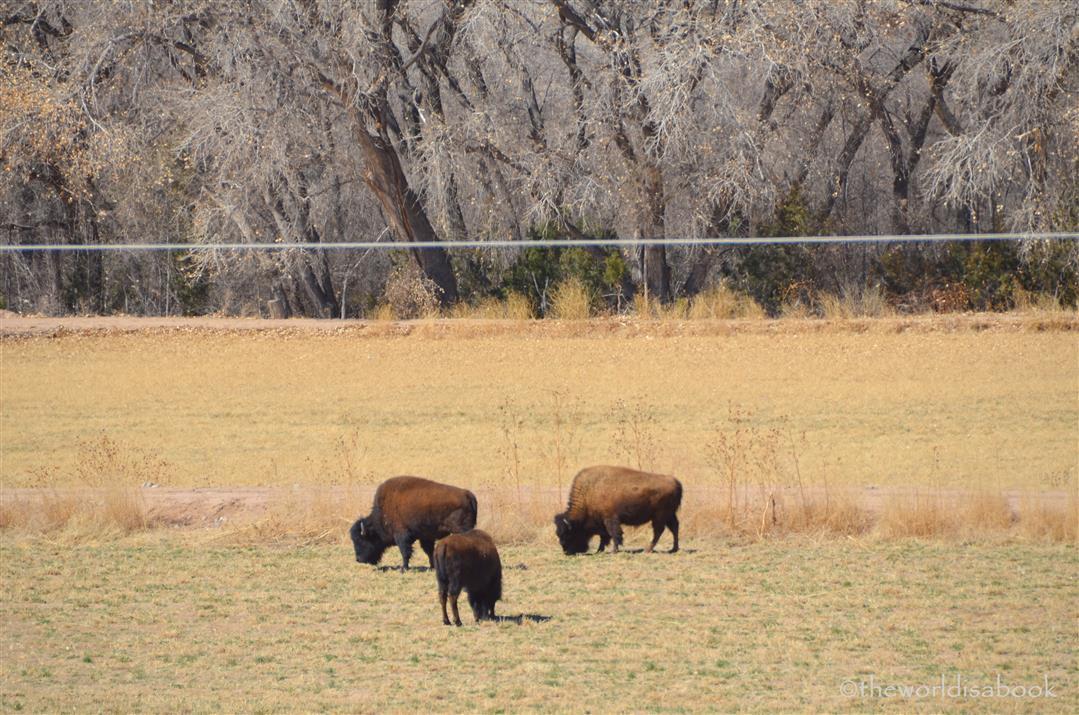 Kasha- Katuwe buffalo