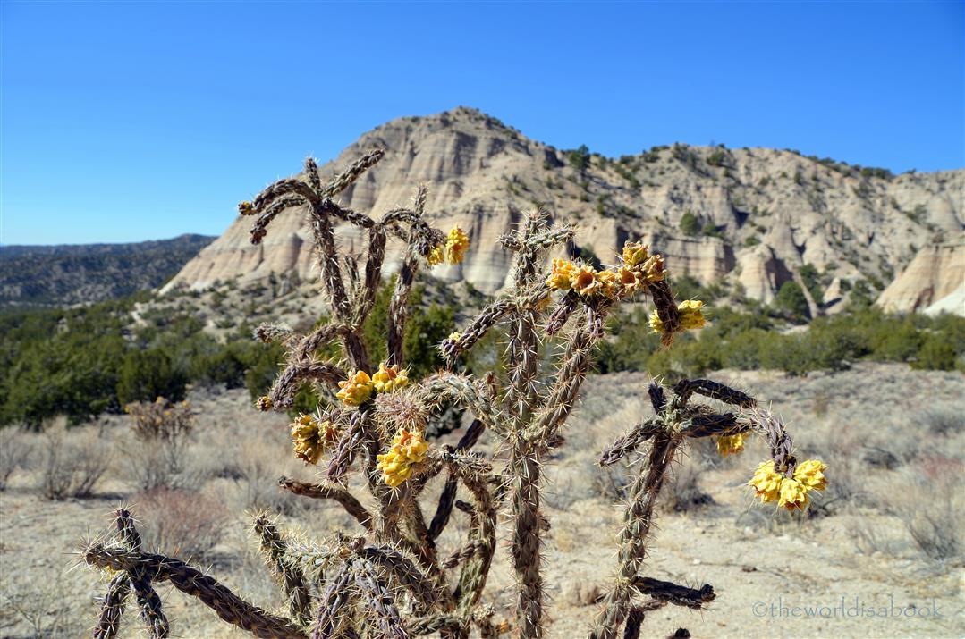 Kasha-katuwe blooming cacti