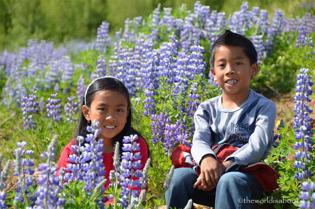 Iceland blue flowers alaska lupine