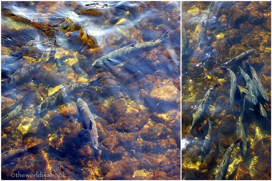 Ketchikan salmon