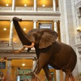 The Smithsonian Institution has 19 varied museums in Washington, DC. But, the National Museum of Natural History (NMNH) was someplace we could have spent days aimlessly wandering around. According to...
