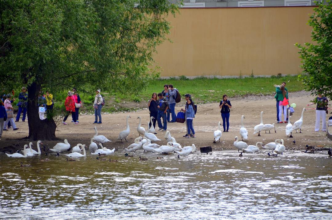 Vltava river swans