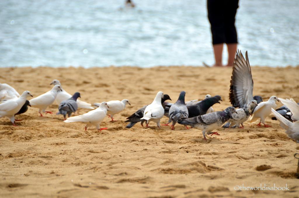 Hanauma Bay pigeons