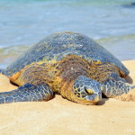 Surfers and Turtles: Sightseeing in North Shore Oahu